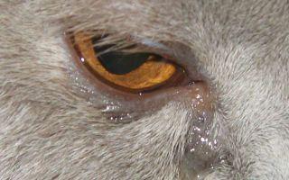Как навсегда избавиться от выделений из глаз у животных?