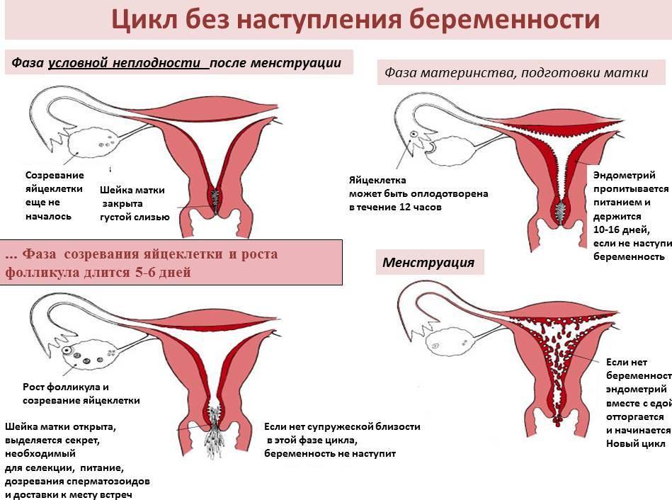 Цикл без наступления беременности